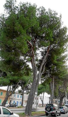 Die Pinos säumen die Avenida in Artà.