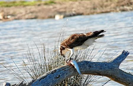 Ein Fischadler beim Kröpfen seiner Beute. Diese tolle Aufnahme gelang dem Hobby-Vogelbeobachter Rolf Schneider. Er gehörte zu ei