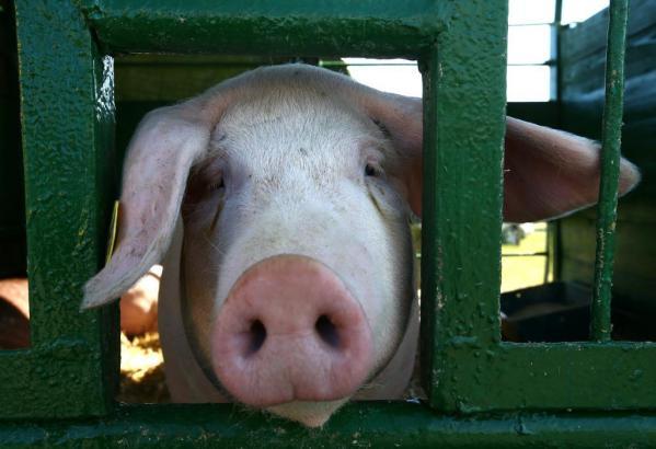 Schweine leben nicht immer wie Könige auf Mallorca.