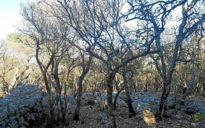 Befallener Baumbestand durch Schwammspinnerraupen zwischen Esporles und Valdemossa.