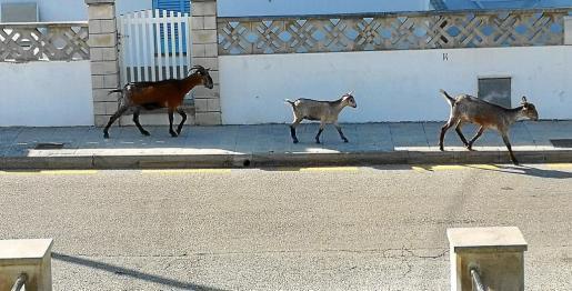 Wildziegen, die in Cala Sant Vicenç im Nordwesten von Mallorca ihr Unwesen treiben.