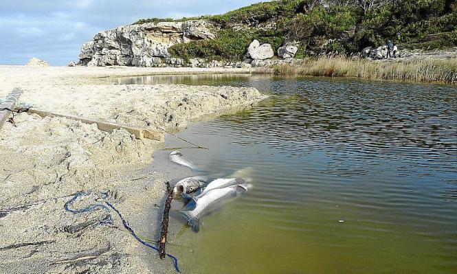 Erst vor wenigen Tagen waren hunderte toter Fische in Son Bauló aufgetaucht.