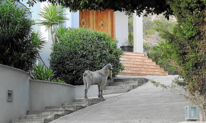 Ein Ziegenbock stand am Wochenende vor einer Haustür in Andratxs Ortsteil Camp de Mar.