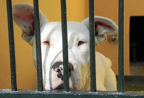 Viele Kampfhunde enden im Tierheim, weil unerfahrene Besitzer schnell mit ihnen überfordert sind.