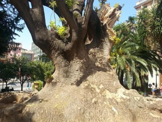 Braucht dringend Hilfe: der schwerkranke Elefantenbaum.