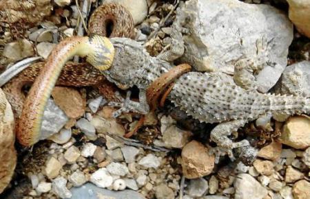 Das Foto von Jaume Rosselló zeigt, wie die Schlinge den Gecko umschlungen hat, so dass er nicht entkommen kann. Sie hat begonnen