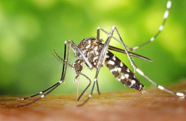 Erkennungsmerkmal der Tigermücke ist die schwarz-weiße Streifung.