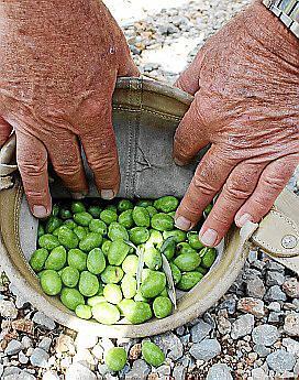 Mühsame Handarbeit: In der Finca Els Horts in Caimari hat Anfang Oktober die Olivenernte begonnen.