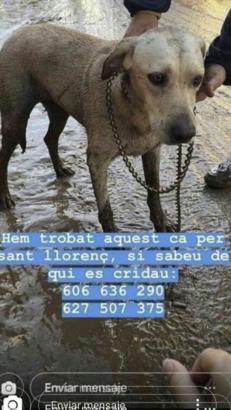 Wem auf Mallorca gehört dieser Hund? Telefon-Kontakt im Bild.