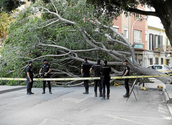 Ein umgestürzter Baum am beliebten Markt Pere Garau in Palma hat Passanten in Schrecken versetzt.