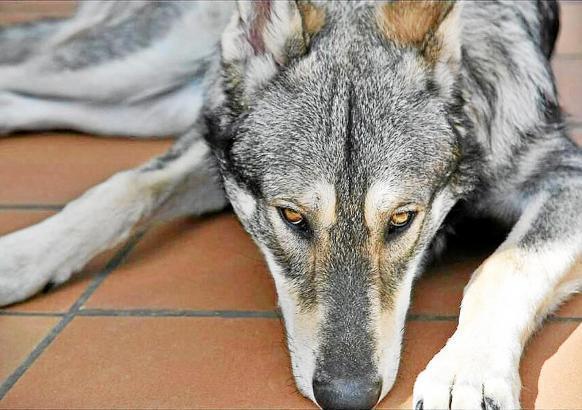 Iberischer Wolfshund auf Mallorca.