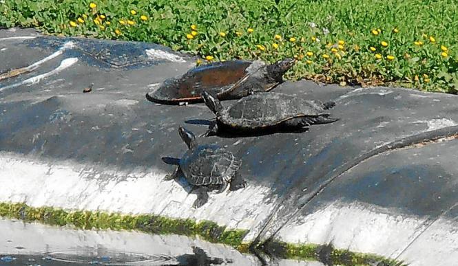 Die auf dem Uni-Campus lebenden Schildkröten sollen zu Beginn des Jahrhunderts in einem alten Brunnen ausgesetzt worden sein.