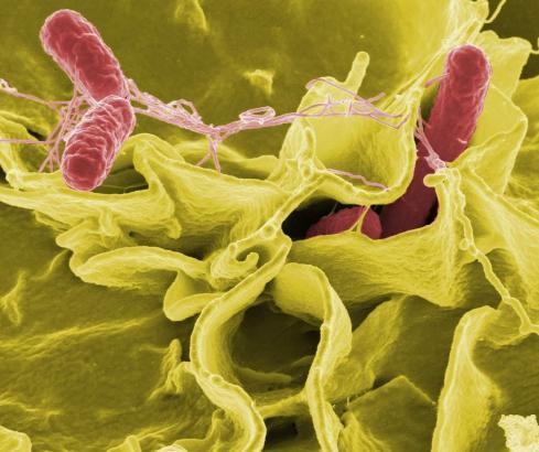 In einem Restaurant in Inca baben sich mehrere Gäste mit Salmonellen infiziert.