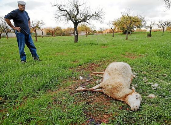 Angel Galdón mit einem toten Schaf auf Mallorca.