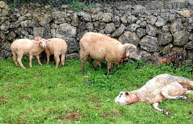 Blick auf ein von Hunden gerissenes Schaf.