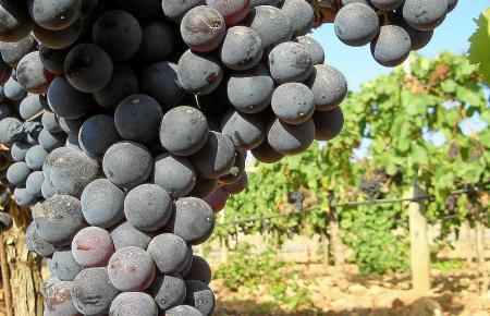 Große Beeren mit dicker Haut sind typisch für den Manto Negro. Aus ihnen entsteht ein fruchtiger Rotwein, der pur oder verschnit