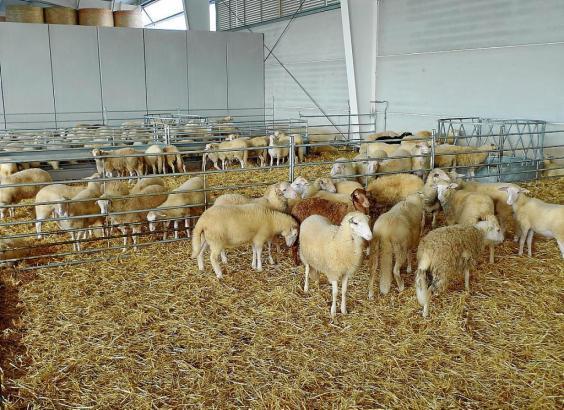 Dieses Jahr wurde zu Weihnachten besonders wenig Lamm konsumiert.