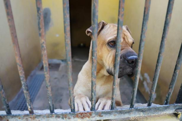 Traurig blickt dieser Boxer durch die Gitterstäbe des Tierheims Son Reus..