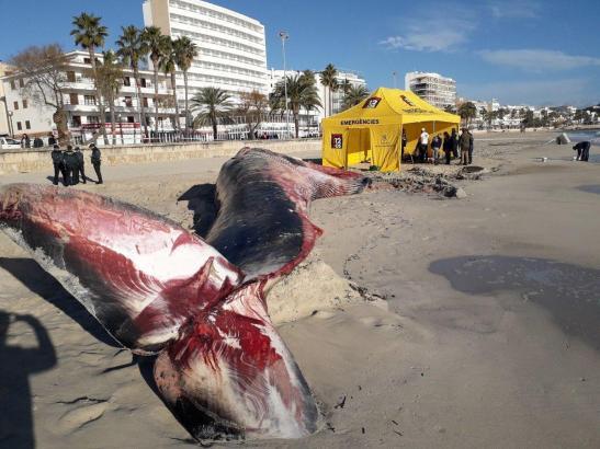 Der Wal wurde an den Strand von Cala Millor gespült.