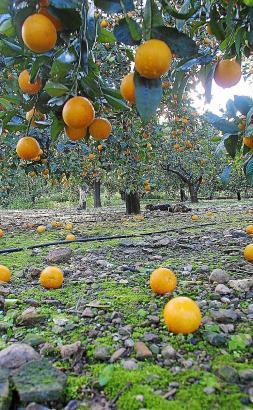 Die Orangen von der Insel haben Konkurrenz aus Südafrika erhalten.
