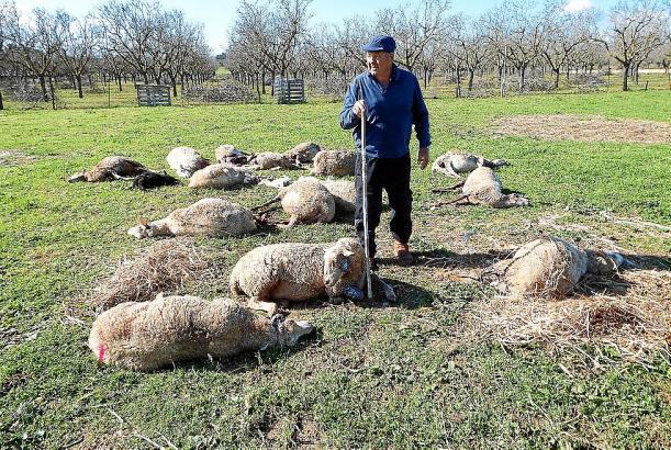 Landwirt Biel Corró hat auf Mallorca 14 Schafe verloren.