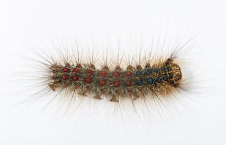 Aus diesem Wesen wächst irgendwann ein schmucker Schmetterling.