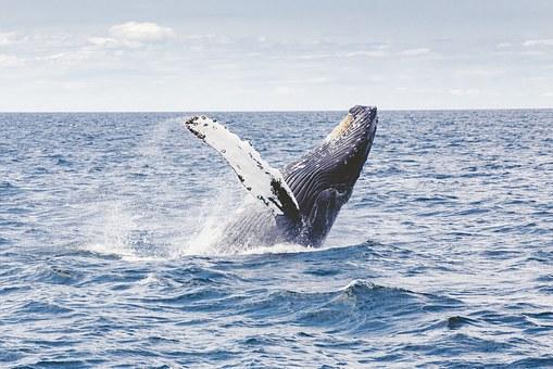 Blick auf einen springenden Wal.