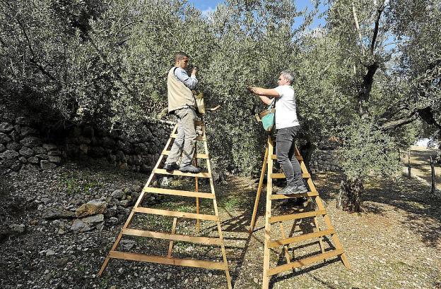 Viel zu ernten hatten die Landwirte und ihre Helfer in diesem Winter in der Tramuntana nicht.