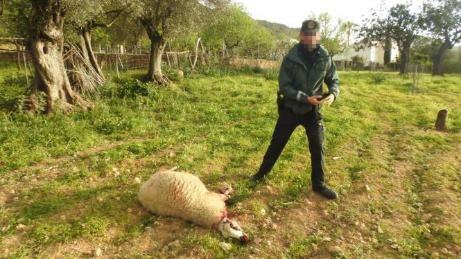 Beamter der Guardia Civil mit einem der getöteten Schafe.