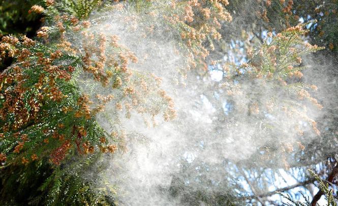 Vor allem Kiefern sorgen in den vergangenen Wochen für eine sehr hohe Pollenbelastung.
