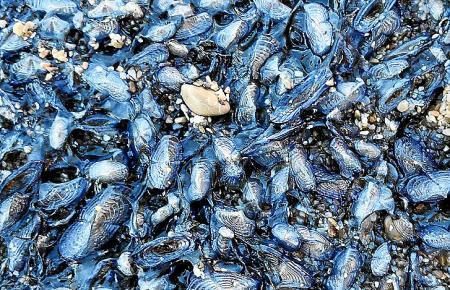 """Im Hafen von Sóller wurden wieder Tausende """"Velas de mar"""" angespült."""