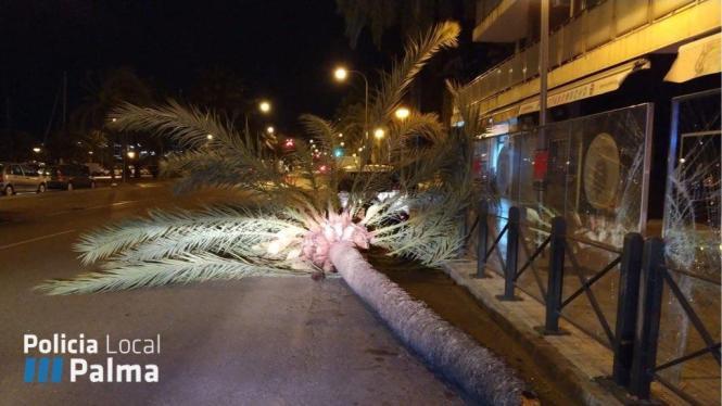 Die Sturmböen fällten eine Palma am Paseo Marítimo in Palma und warfen sie auf die rechte Fahrbahn.