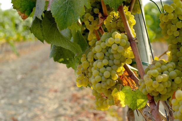 Weiße Trauben an einem Weinstock.