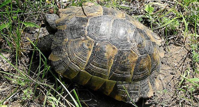 Die Maurische Landschildkröte hat einen cremefarbenen, braunen oder grauen Panzer mit unregelmäßigen dunklen Flecken.