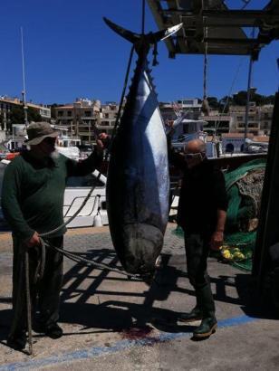 Vor Mallorca gefangener Thunfisch.
