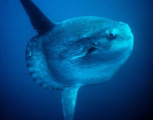 Geheimnisvoll und ins Auge stechend: der Mondfisch