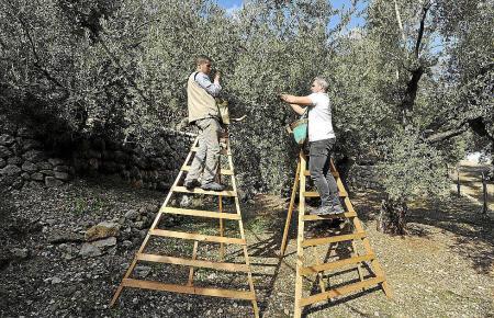 Olivenernte auf Mallorca.