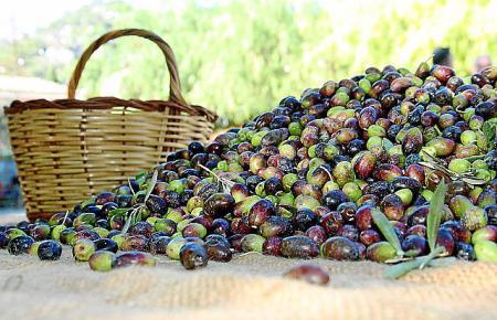 Aus guten Mallorca-Oliven entsteht gutes Öl.