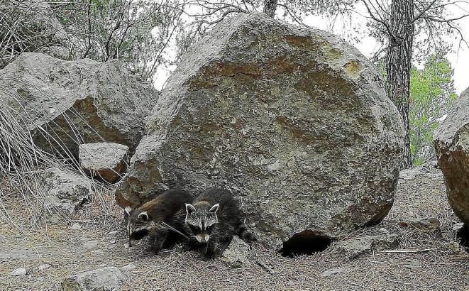 2006 wurden Waschbären erstmals auf Mallorca gesichtet.