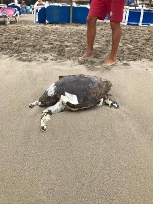Die tote Schildkröte.