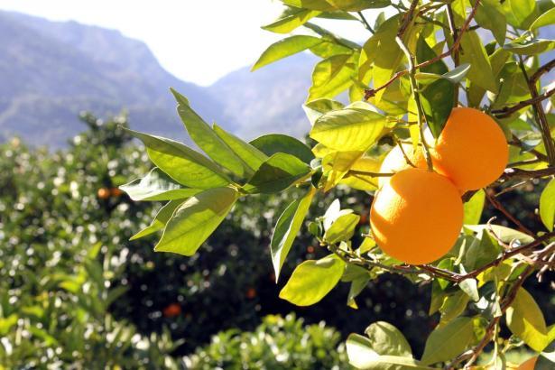 Orangengarten im Tal von Sóller auf Mallorca.