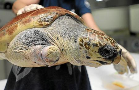 """Schildkröte """"Terra"""" fehlt ein Bein, weil sie sich in einem Netz verfangen hatte."""