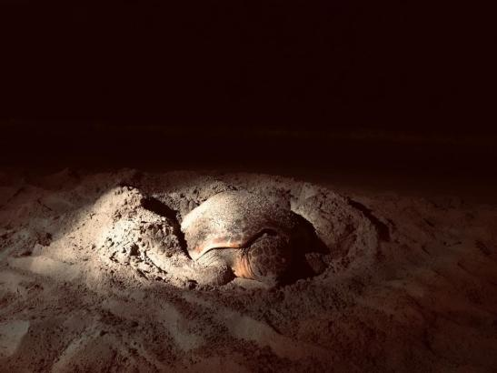 Die Schildkröte geht in aller Ruhe ihren Verrichtungen nach.