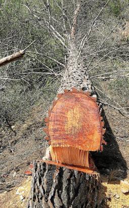 Auch ein Jahr nach der illegalen Baumfällung sind die traurigen Spuren noch sichtbar.