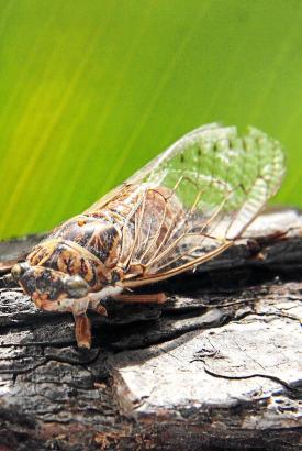 Voilà, eine Zikade...