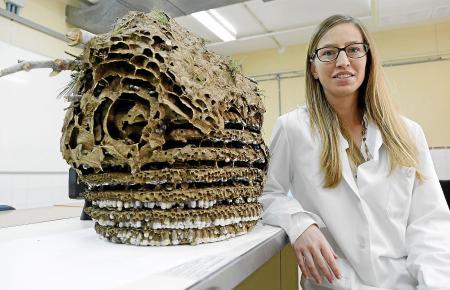 Mar Leza, Forscherin der Balearen-Universtität, mit dem ersten Nest der Asiatischen Hornisse, das auf Mallorca 2015 gefunden wurde.