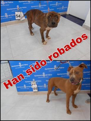 Diese beiden Hunde wurden aus dem Tierheim Son Reus entwendet.