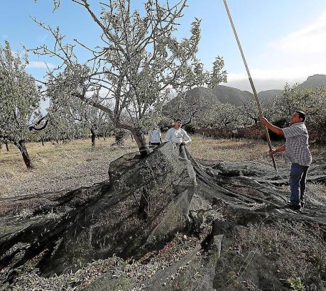 Erntehelfer schütteln mit Hilfe von Eisenstangen die Mandeln vom Baum.