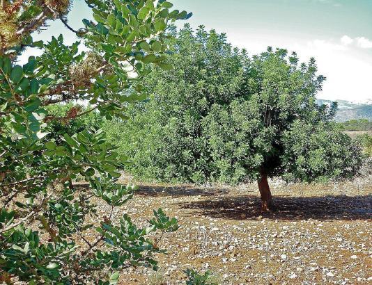 Erntereife Johannisbrotbäume auf Mallorca.