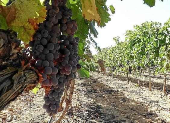 Mallorca-Weine sind im In- und Ausland beliebt.